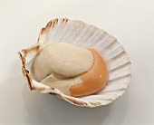 A scallop in its shell