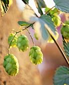 Hops on the vine (Humulus lupulus)