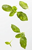 Several basil leaves