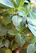 Amaranth plant (Leaves are used like spinach)