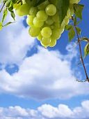 White wine dripping from grapes against blue sky