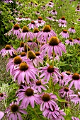 Purple coneflower (Echinacea purpurea) in the open air