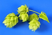 Fresh hop cones against a blue background