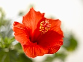 A red hibiscus flower (Hibiscus rosa-sinensis)
