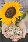 Frau hält geschälte Sonnenblumenkerne und Sonnenblume