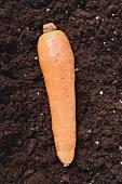 A carrot on soil