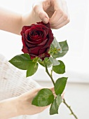 Hand holding a dark red rose