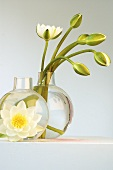 White water lilies (just opening) in glass vases