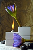 Aroma oil lamp and blue lotus blossoms