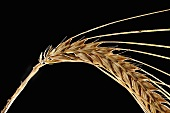 Ear of barley