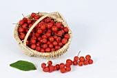 Rowan berries in a small basket