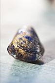 A mussel
