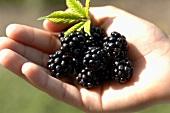 Fresh blackberries in someone's hand