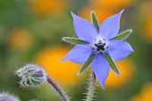 A borage flower