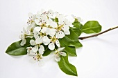 Pear twig with blossom and leaves
