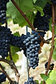 Pinot noir grapes on a vine