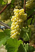 Pinot blanc grapes on the vine