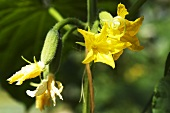 Cucumber flowers on the plant (close-up)