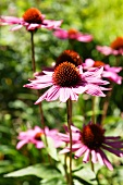 Flowering red echinacea
