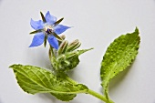 Borage with flower