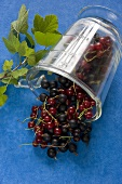 Jostaberries and redcurrants in a measuring jug