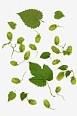 Hops leaves and hops shoots