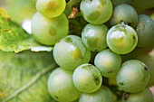 Riesling grapes
