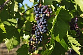 Organic Table Grapes on the Vine