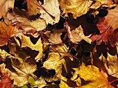 Autumnal leaves (macro zoom)