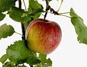 A Boskop apple on the tree