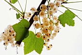 White currants on branch