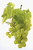 A whole bunch of green grapes with leaves