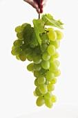 Eine ganze grüne Weintraube mit Blättern