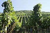 Vineyard, Mosel, Germany