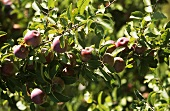 Cortland Apples in the Tree
