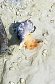 Live Conch on the Beach