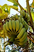 Bunch of Yellow Bananas