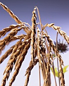 Ears of spelt wheat with blue background