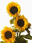 Three sunflowers with white background