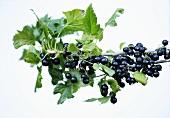 Blackcurrants on branch
