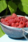Fresh raspberries in a sieve