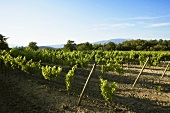 Vines in Provence