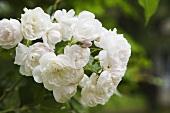 White shrub roses