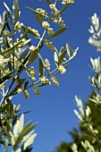 Olive tree with blossom