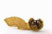 Sweet chestnuts in shell with leaf
