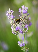 Lavender flowers with a bumble-bee