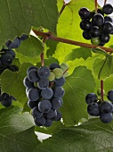 Pinot Noir-Weintrauben an der Rebe