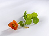Nasturtium flower with leaves