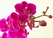 Orchid with pink flowers