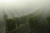 Vines in morning mist